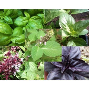 BASIL 'Heirloom Mix' - Boondie Seeds
