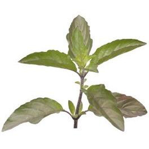 BASIL 'Holy Red' Tulsi - Boondie Seeds