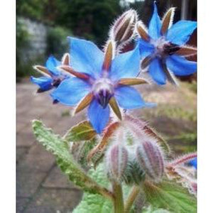 BORAGE Blue Flowered - Boondie Seeds