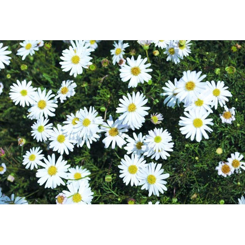 SWAN RIVER DAISY / BRACHYSCOME 'White Splendour' *NATIVE*