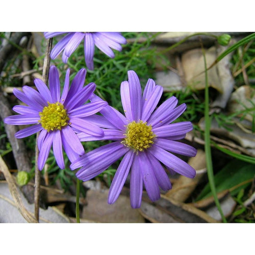 SWAN RIVER DAISY / BRACHYSCOME 'Blue Splendour' *NATIVE*