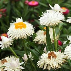 PAPER DAISY 'White' / STRAWFLOWER / EVERLASTING DAISY - Boondie Seeds