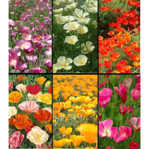 CALIFORNIAN POPPY VARIETY PACK - 6 Packets of seeds