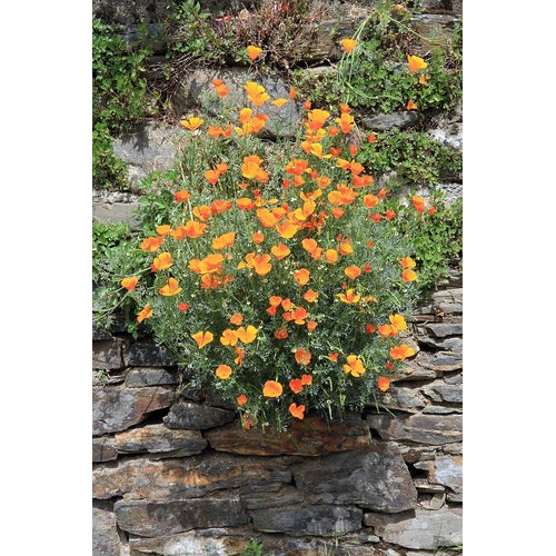CALIFORNIAN POPPY 'Aurantiaca Orange' - Boondie Seeds