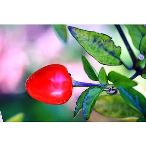 CAPSICUM MINI 'Red Cherry' - Boondie Seeds