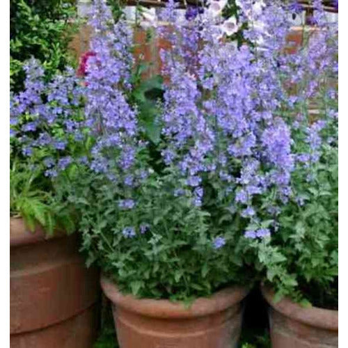 CATMINT Nepeta mussini - Boondie Seeds