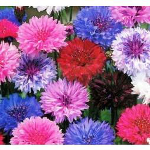 CORNFLOWER 'Double Ball Mix' - Boondie Seeds