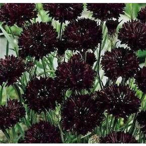 CORNFLOWER 'Black Ball' - Boondie Seeds