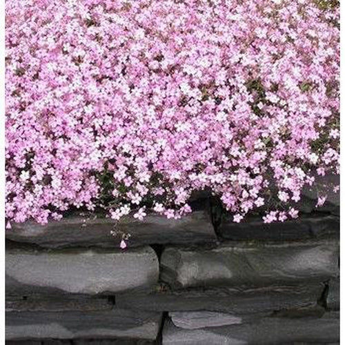 CREEPING BABY'S BREATH / GYPSOPHILA 'Rose' - Boondie Seeds