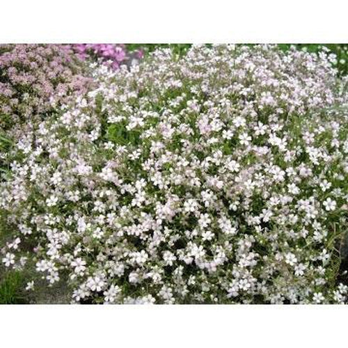 CREEPING BABY'S BREATH / GYPSOPHILA 'White' - Boondie Seeds