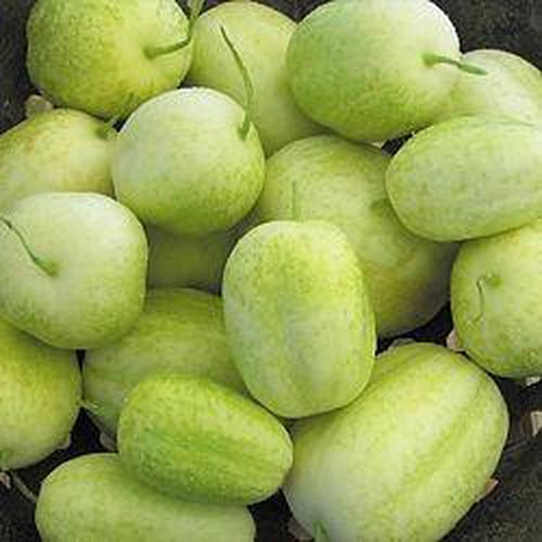 CUCUMBER 'Crystal Apple' - Boondie Seeds