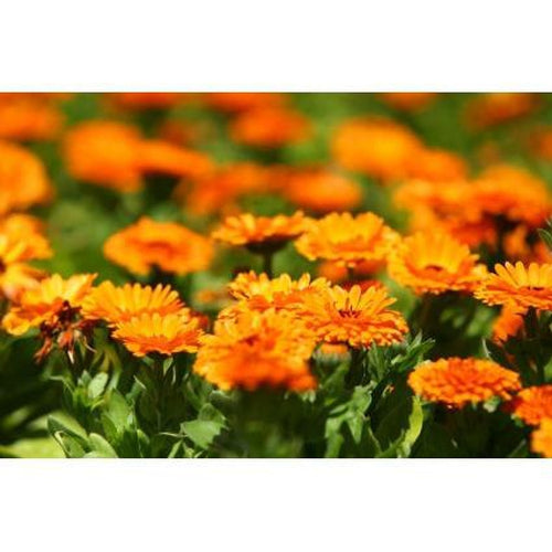 CALENDULA / English Marigold