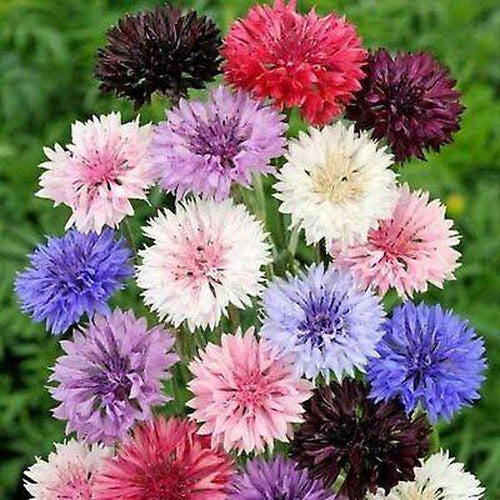 CORNFLOWER 'Double Ball Mix'