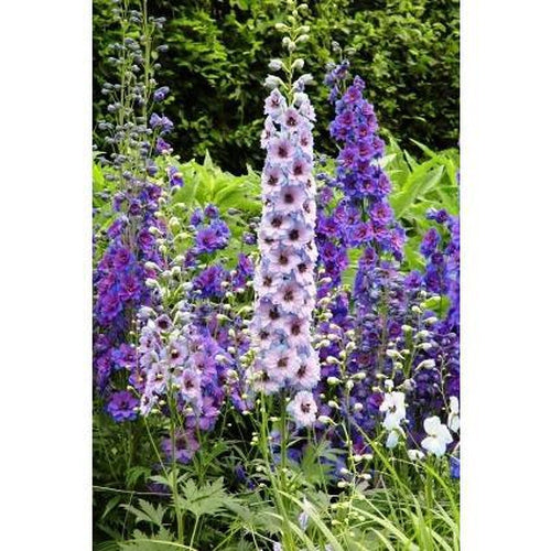 DELPHINIUM 'Pacific Giants Mix' - Boondie Seeds
