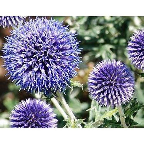 GLOBE THISTLE / Echinops 'Ritro Violet' 10 seeds - Boondie Seeds