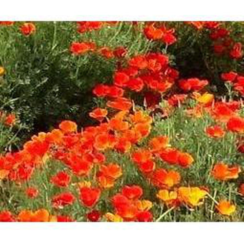 CALIFORNIAN POPPY 'Red Chief' - Boondie Seeds