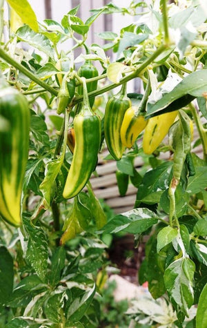 CHILLI 'Fish Pepper' seeds