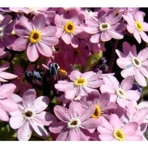 FORGET ME NOT 'Chinese Firmament Pink' / Large flowered Forget me not - Boondie Seeds