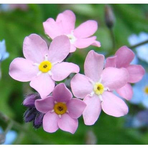 FORGET ME NOT Rose - Boondie Seeds