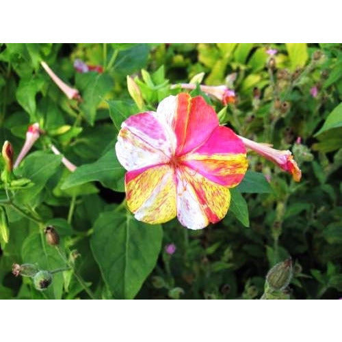 4 OCLOCKS / Mirabilis jalalpa 'Mix' / Four o'clocks - Boondie Seeds