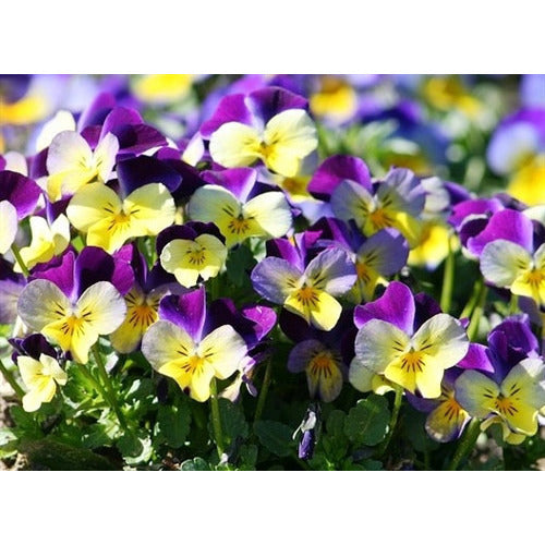 HEARTSEASE 'Johnny Jump Up' - Boondie Seeds