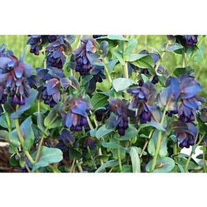 HONEYWORT Cerinthe major purpurescens - Boondie Seeds