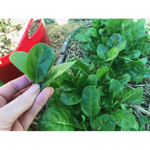 SPINACH 'Barese' / Silverbeet / Chard - Boondie Seeds