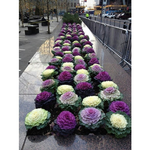 FLOWERING CABBAGE 'Ornamental Mix' - Boondie Seeds