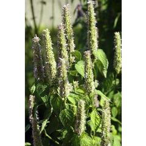 KOREAN MINT / Blue Licorice/ Huo xiang /Agastache rugosa - Boondie Seeds
