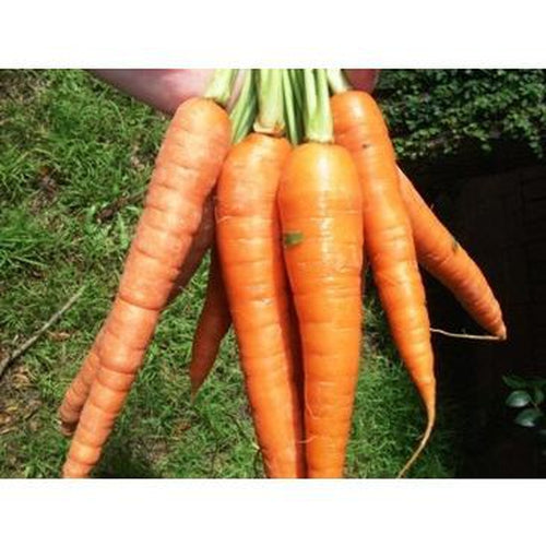 CARROT 'Royal Chatenay' - Boondie Seeds
