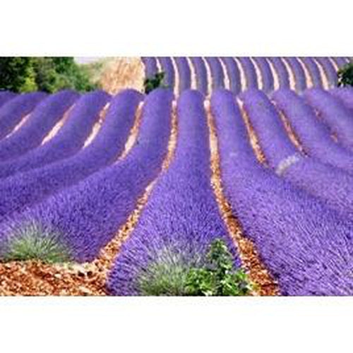 LAVENDER 'English' True Lavender - Boondie Seeds