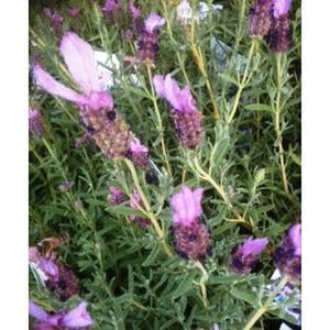 LAVENDER 'French' - Boondie Seeds