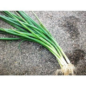SPRING ONION 'White Lisbon' - Boondie Seeds