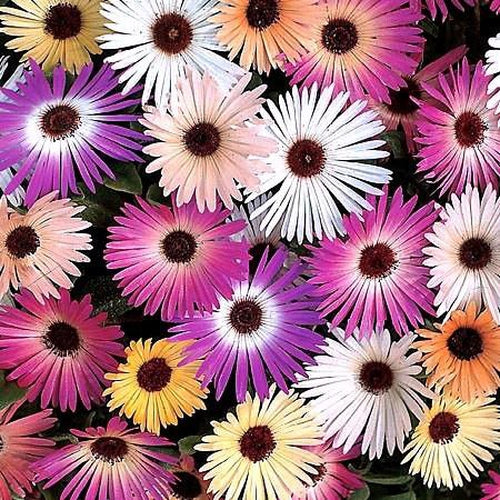 LIVINGSTONE DAISY / Ice Plant seeds