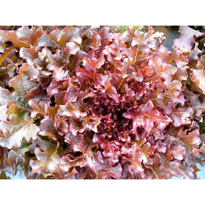 LETTUCE 'Salad Bowl Red' - Boondie Seeds