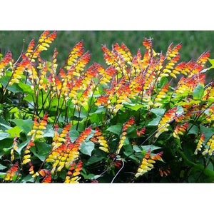 EXOTIC LOVE VINE / MINA LOBATA seeds