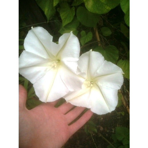 MOON FLOWER / IPOMOEA ALBA - Boondie Seeds