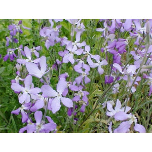 STOCK Night scented - Boondie Seeds