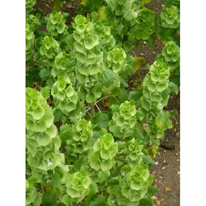BELLS OF IRELAND / MOLUCCELLA LAEVIS - Boondie Seeds