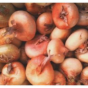 ONION 'Cipollini Brown' - Boondie Seeds
