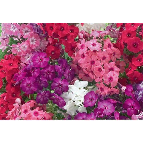 PHLOX 'Cecily Mixed' - Boondie Seeds