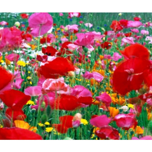 POPPY 'Mixed' - Boondie Seeds