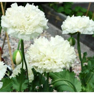 POPPY 'Peony Double Cream' seeds