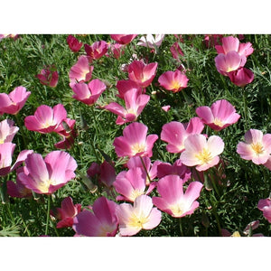 CALIFORNIAN POPPY 'Purple Gleam' - Boondie Seeds