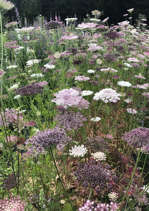 QUEEN ANNE'S LACE 'Chocolate' seeds