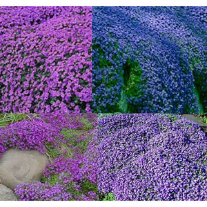 Rock Cress / Aubretia