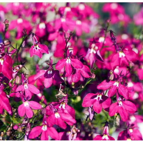 LOBELIA 'Rosamond' seeds