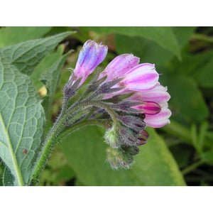 COMFREY ROOT / cutting - Boondie Seeds
