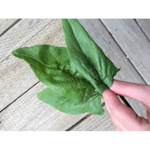 SPINACH 'Winter Giant' English - Boondie Seeds