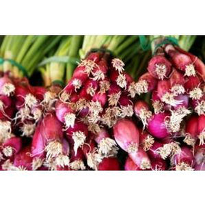 SPRING ONION 'Red Stem Welsh' - Boondie Seeds